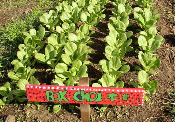 Bok Choi garden
